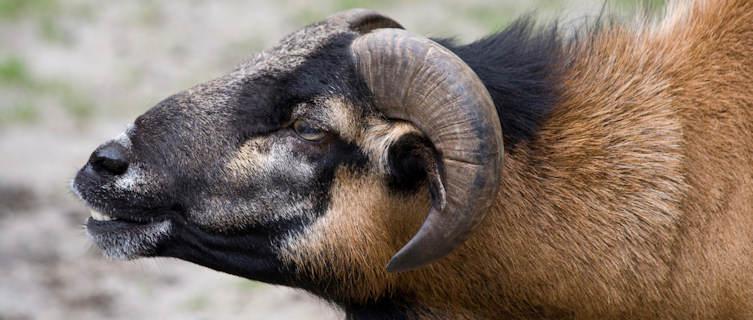 A Cameroonian Sheep