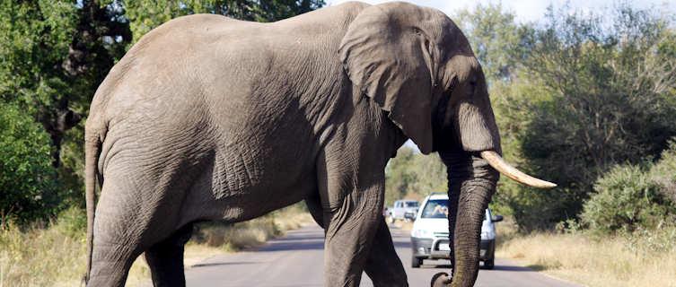 African elephant, Kruger National Park, South Africa
