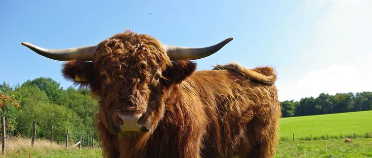 Highland cattle can be found in the Scottish Highlands