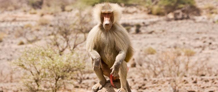 Baboon, Djibouti