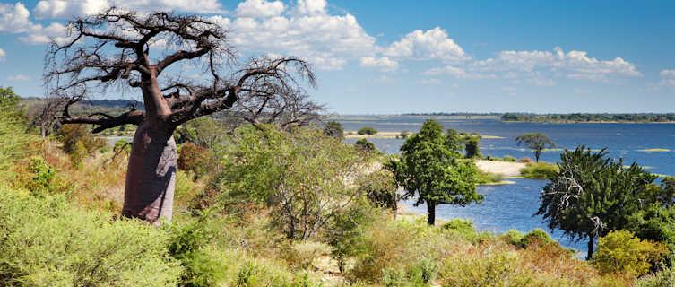 Baobab tree, Chobe River, Botswana