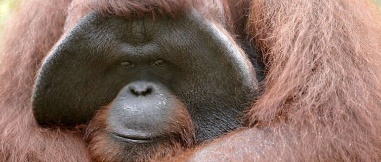 Borneo's endangered orangutans