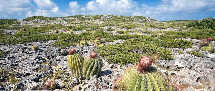 Cactii in Anguilla