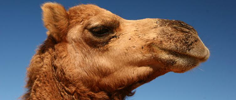 Camel in desert, Afghanistan