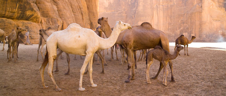 Camels in the mountain deserts of Chad
