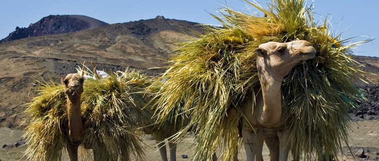 Camels near Lac Asaal in Djibouti