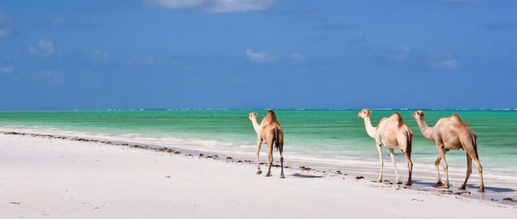 Camels on Paradise Beach, Tanzania