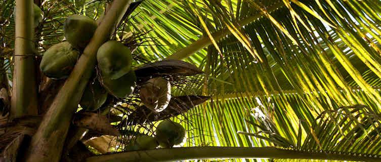 Coconut tree, Saba