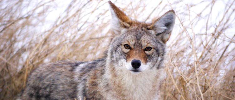 Coyote near White River, Yukon