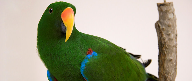 Electus Parrot, native to the Soloman Islands