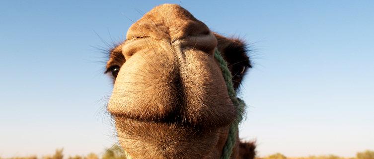 Enjoy a camel back adventure into the desert