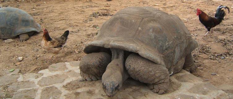 Giant tortoises in Mauritius