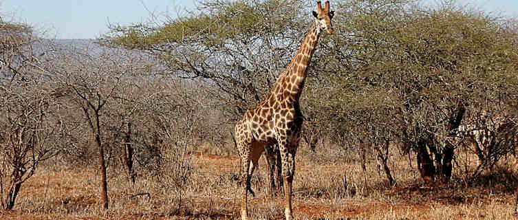 Giraffe in Swaziland's savannah