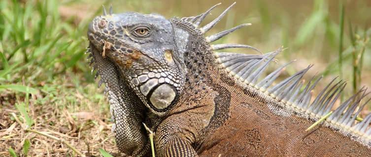 Iguana, Belize