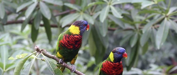 Lory birds in Jurong Bird Park