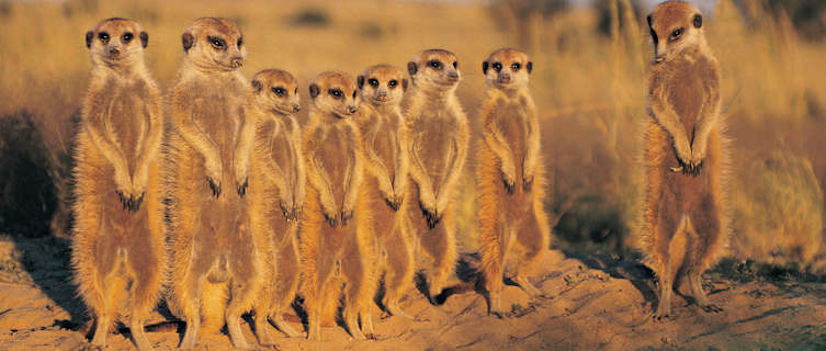 Meerkats in the Kalahari Desert, Botswana
