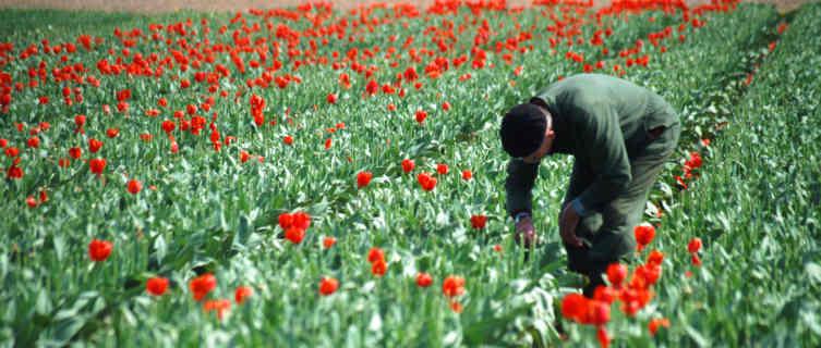Netherlands's world-famous tulips