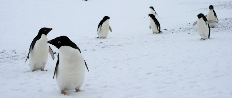 Penguins near Hut Point, Antarctica
