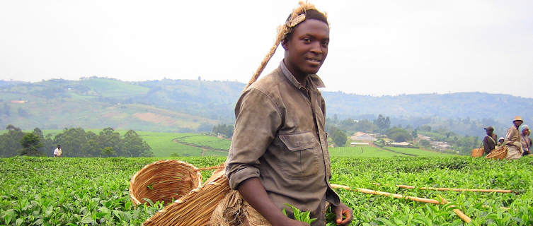 Picking Tea in Uganda