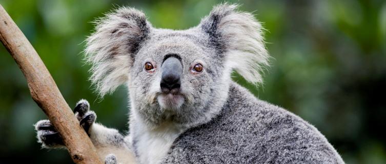 Port Macquarie, New South Wales, has a large koala population