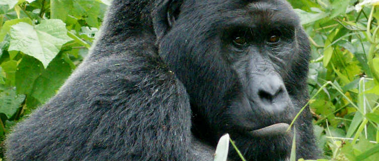 Rare mountain gorillas