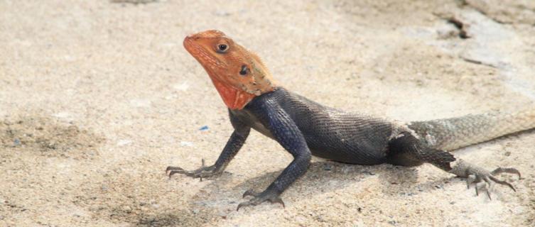 Red Headed Rock Agama Lizard near Libreville