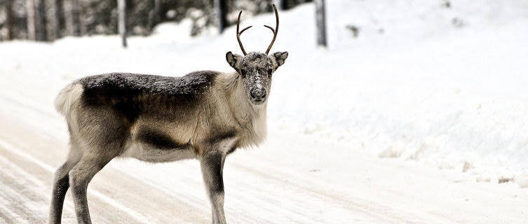 Reindeer, Swedish Lapland