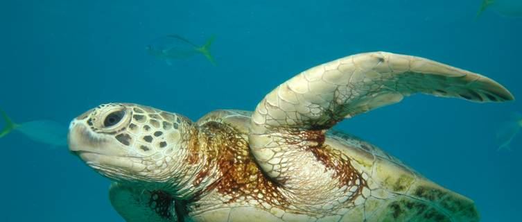 Sea Turtle, Great Barrier Reef, Cairns, Australia