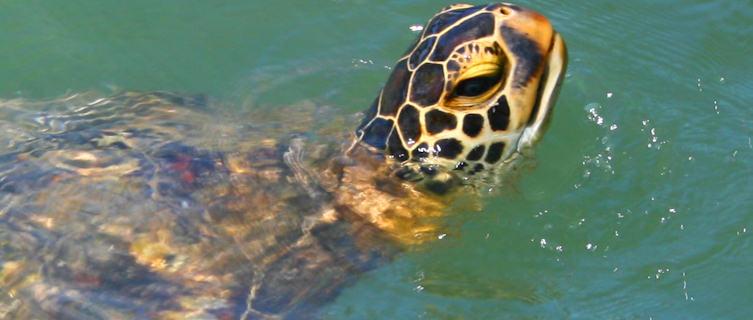 Sea turtle, Samoa