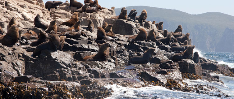 Seals at South Bruny National Park, Tasmania