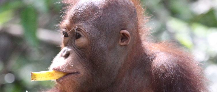 See endangered orangutans on Borneo, Malaysia
