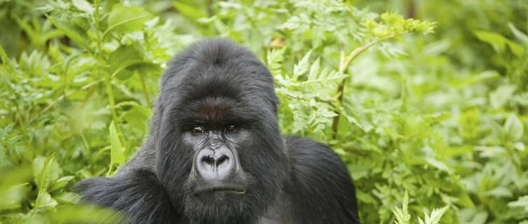 Silverback Mountain Gorilla, Parc National des Volcans, Rwanda