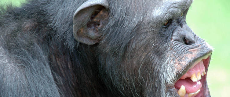 Uganda is home to wild chimps