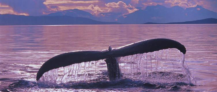 Whale in Alaska, an unspoilt wilderness