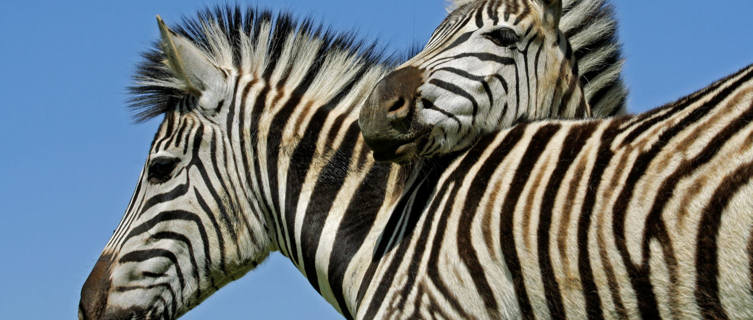 Zebra in Mokala National Park, South Africa