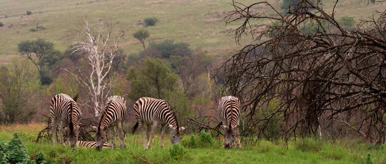 Zebras grazing near Johannesburg